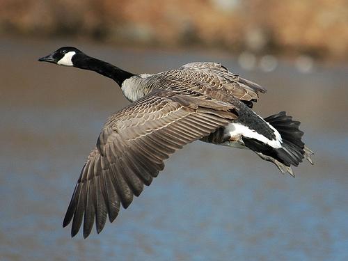 Canada Goose langford parka replica price - The Fall Migrat��   Riekes Nature Awareness